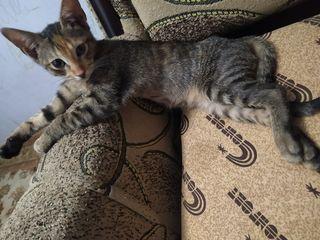 Daruim cu mare dragoste familiilor iubitori de pisici, de dorit la casa pe pamint.