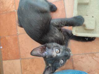 Кошечка черная 3-х месячная