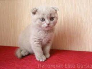 Pisica fold  foarte frumosa, culoare  rara liliacie