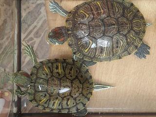 Vindem 2 broscuțe - Țestoase mascul și femelă,..