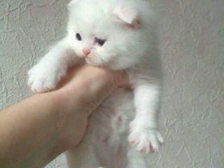 Шикарные котята порода шотландцы и скотиш фолд!!!