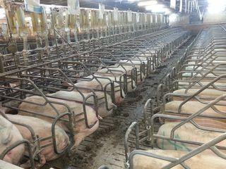Ferma de creștere a porcinelor din sat. Greblești, r-ul Straseni