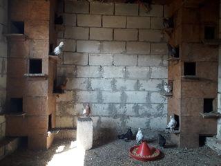 Бакинские голуби!