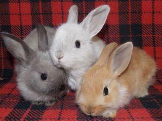 Декоративные кролики с доставкой на дом!