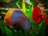 Аквариумная рыба. Аквариумные растения. Консультации по уходу за аквариумом.