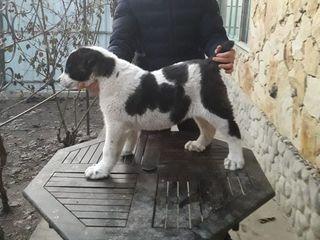 Продам чистокровных щенков САО