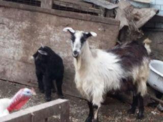 vind o capra tinara a doua fatare