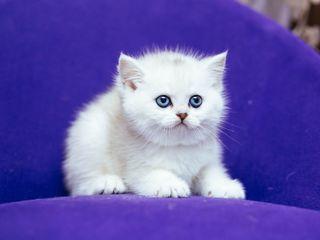 Британские котята шиншилла с документами на вывоз