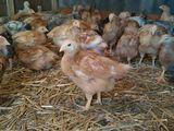Принимаем заказы на Цыплят Французский Полубройлер на 17-20 июня!!