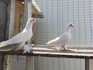 Porumbei tineri
