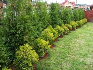 Plante decorative de gradina pentru gard vesnic verde de la producator