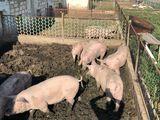 De vânzare porci crescuți în condiții de casă. 100% natural!