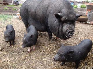 Carne  de porc de casa la pret promotional