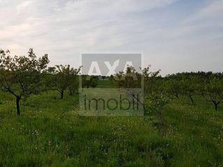 Livadă de nuci și prune cu suprafața de 2400 ari, Drochia