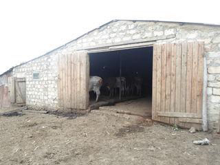 Vindem ferma de vaci!In lucru!!