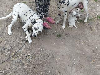 Продам щенков породы далматинец