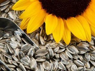 Cumpar floarea soarelui crupnoplodnaia (mașcată)