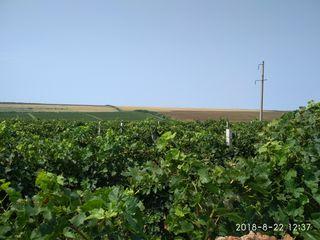Teren cu plantaţii de viţa de vie 168 ha