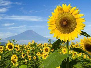 Se vinde 5 tone de floarea soarelui