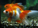 Золотая рыбка для прудов и аквариумов.