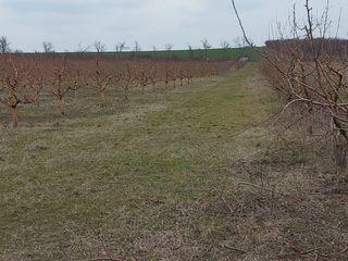 Аренда Poltava 8 km de la Chisinau. Сдаю сад яблок 2 га 1700 деревьев и персика 1.3 га 500 деревьев