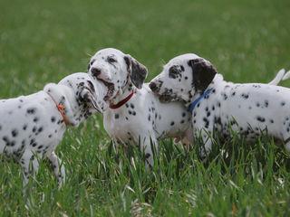 Далматины - не просто собаки (только в хорошие руки)