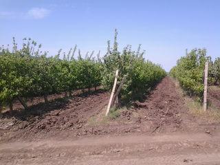 Pamint arabil + pomi fructiferi  titlu de proprietar