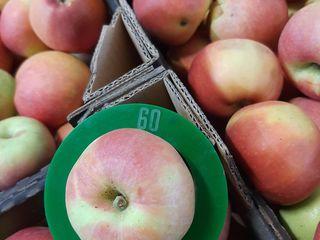 яблоко Гала оптом