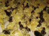 Ouă de prepeliță la incubare si alimentație