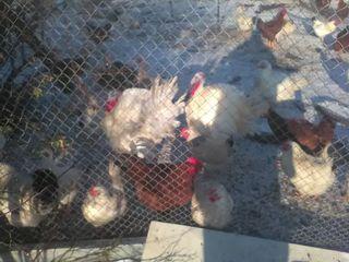 Домашнее мясо - петухи 100 лей кг индюк 100 лей---carne de cucos - de casa -100 lei-kilogramu