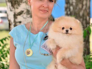 Pomeranian-FCI(Pedegree) Гранд Чемпион Молдовы