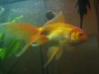 Золотые рыбки гуппи аквариум 50 лит лечеие консультации по содержанию и уходу за аквариумом