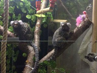 Две обезьянки. Мальчик и девочка.