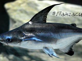 Акулий сом 50-60 см
