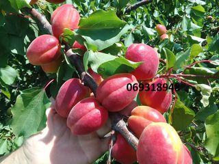 Pomi fructiferi migdal