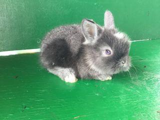 Декоративные крольчата.