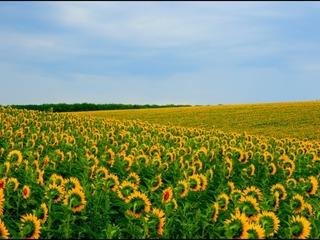 Teren Agricol 65 ha cu floarea soarelui 15 km de la Chisinau