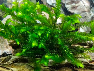 продам мох для аквариума