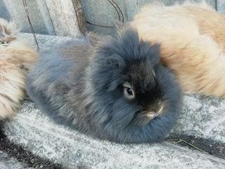 Декоративные карликовые ангорские кролики !