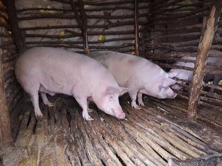 vind 3 porci mari , 150-180 kg fiecare