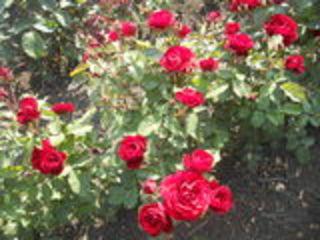 Продается кусти роз