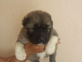 Продаются щенки кавказской овчарки с питомника