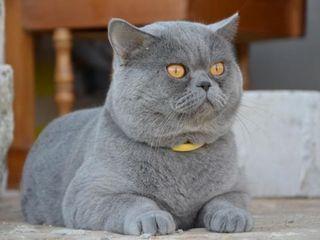 Британский плюшевый  красавец - вязка  не дорого , можно за котенка.