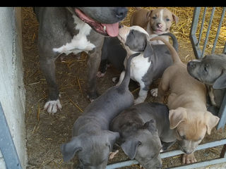 Catei Pitbull Blue.  Isabelle !