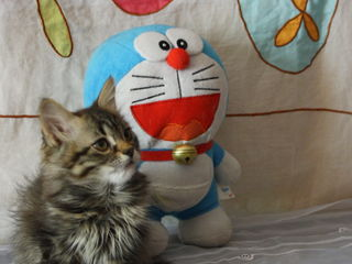 Замечательный сибирский  пушистый котенок котик.