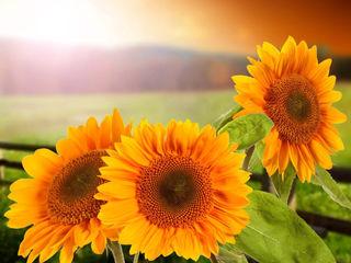 Cumpărăm floarea soarelui!