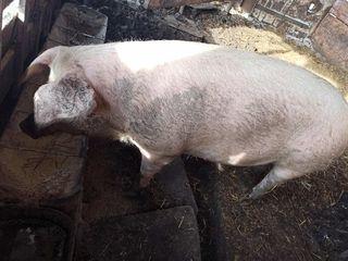 Se vinde porc la 150 kg
