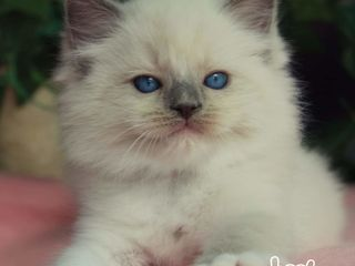 Kittens ragdoll for your home..