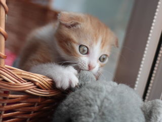 Scottish fold shorthair red and whithe kitten. 1,5 мес.