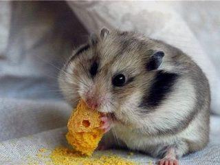 Доставка - Акция!!! джунгарские хомяки - бесплатно. Hamsteri - gratuit